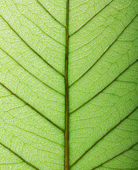 Green leaf macro background