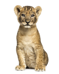 Lion cub sitting, looking at the camera, 7 weeks old, isolated