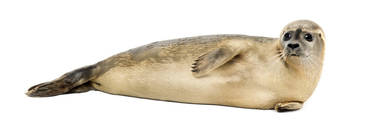 Side view of a Common seal lying on the side, Phoca vitulina