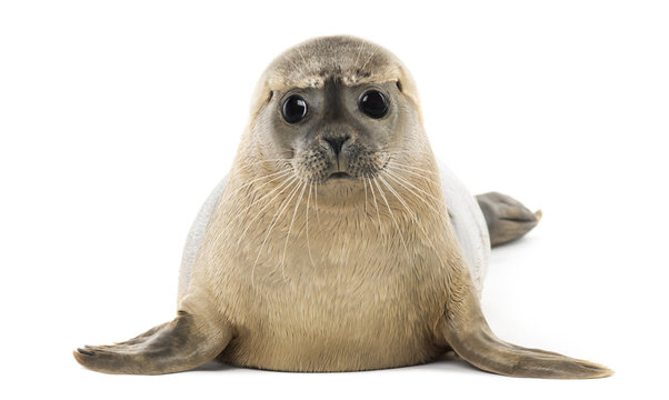 Common seal lying, facing, Phoca vitulina, 8 months old