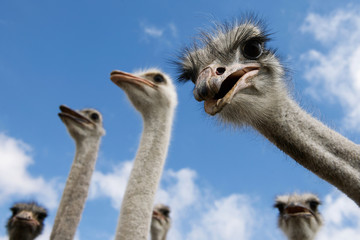Zelfklevend Fotobehang Struisvogel ostriches