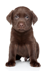 Beautiful Labrador puppy on white background