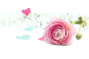 pink ranunculus buttercup on white background with blue hearts