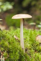 Mushroom growing in moss, a slug can be seen on it