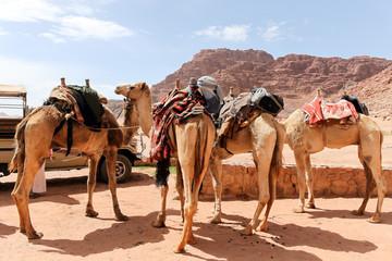 ワディラム砂漠のラクダ