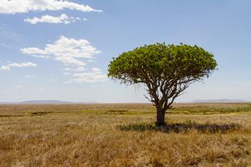 Tree in Serengeti