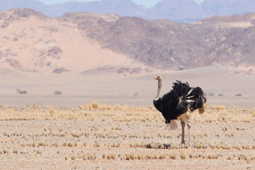 Male ostrich walking in the Namib desert