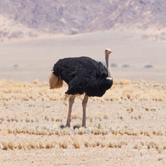 Male ostrich walking in the Namib desert