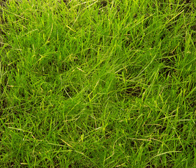 Just trimmed grass closeup. Background, texture.