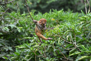 Playing macaque monkey in the jungle