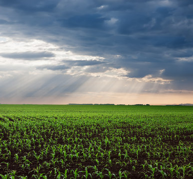 Cornfield in the plain after the rain