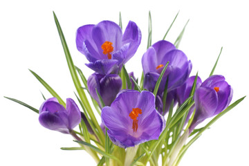 Crocus, flowers on a white background