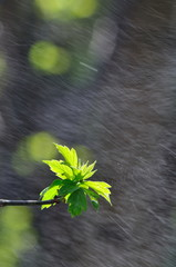 The leaves of a young tree in the rain