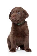 Brown Labrador puppy on white background