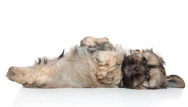 Shih Tzu puppy resting