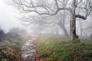 Wall Mural - trail in the forest with mysterious trees