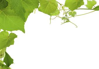 Wall Mural - feuilles de vigne