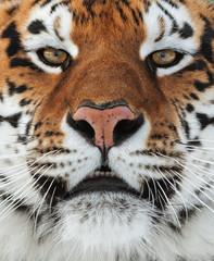 The Siberian tiger