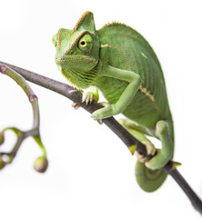 Wall Mural - green chameleon - Chamaeleo calyptratus on a branch