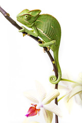 Wall Mural - chameleon - Chamaeleo calyptratus and orchid