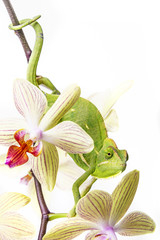 Wall Mural - chameleon on an orchid