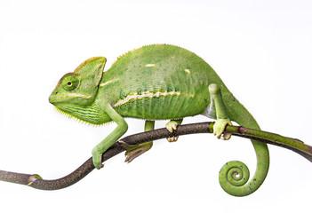 Wall Mural - green chameleon - Chamaeleo calyptratus