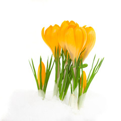 Photo sur Plexiglas Crocus yellow crocus flowers