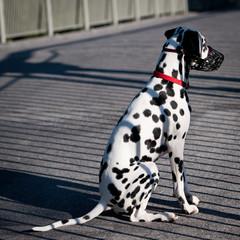 cute Dalmatian in a park