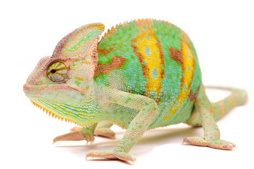 Photo sur Aluminium Cameleon One Yemen chameleon