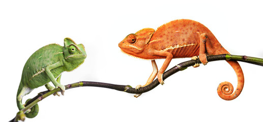 Fototapete - chameleon - Chamaeleo calyptratus on a branch