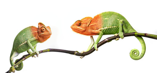 Wall Mural - chameleon - Chamaeleo calyptratus on a branch