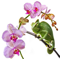 Fototapete - green chameleon  and pink orchid