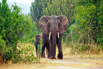 Elephant in the Queen Elizabeth National Park in Uganda, Africa Wall mural