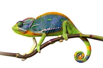 Deurstickers Kameleon chameleon