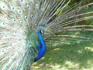 Peacock displaying his brilliantly colored tail feathers