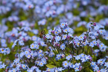 Background with Myosotis Sylvatica flowers