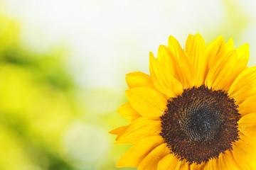 Sunflower with summer scene background
