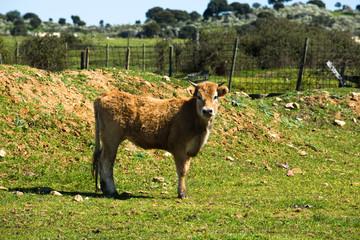 Brown baby calf