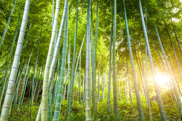 Poster Bambou Bamboo forest with sunlight
