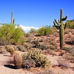 Fototapete - Arizona desert view with giant saguaro cactus