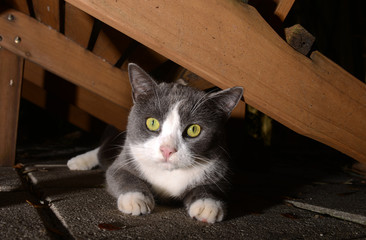 cute gray and white cat with bright eyes