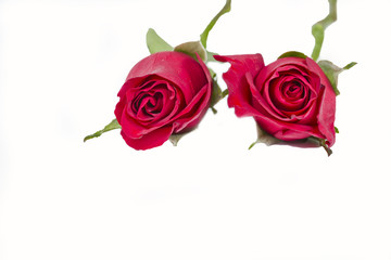 two red roses lying down on a white background