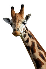 Foto op Plexiglas Giraffe giraffe isolated on white background