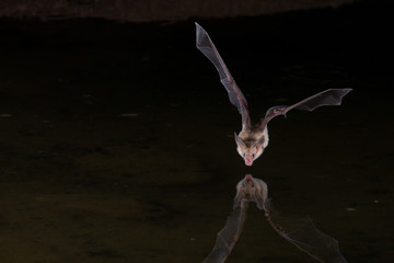 Night Flash Image of Bat drinking water