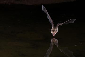 Night Flash Image of Bat drinking water