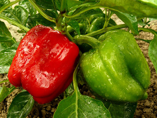 bell pepper plant with red and green fruits