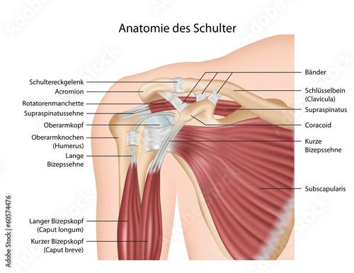 Anatomie der Schulter, Muskeln mit Erklärung deutsch\