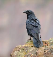 Raven posing on a rock