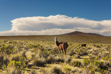 Photo sur Aluminium Amérique du Sud Llama in Bolivia