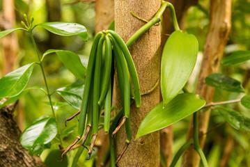 Vanilla plant and green pod